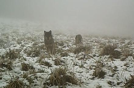 Wilki w Bieszczadach