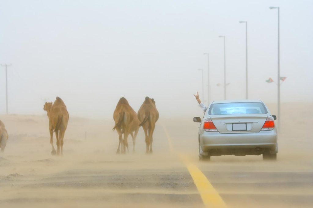 auto wielbłąd