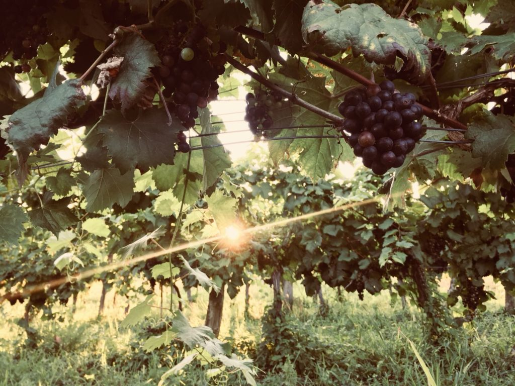 Słowenia słynie z wina. Rośnie tam najstarszy szczep, który wciąż owocuje